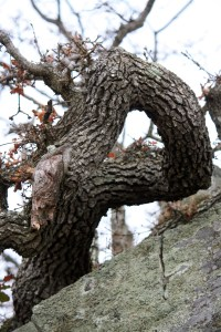 A gnarled and twisted Oak!
