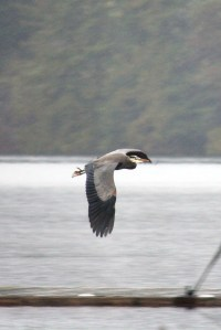 The Blue Heron was back on Long Lake - beuatiful in flight.