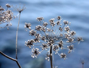 Dried Fennel flowerhead along side the Yacht club - beautiful in the morning light.