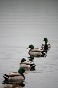 The mallard ducks were looking beautiful on the lake - the suface was just smooth as glass.