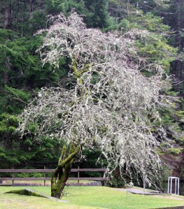 A leaf-less tree dripping with grey Lichens.