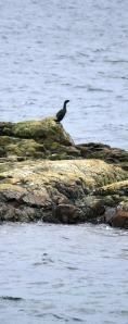 Cormorant on the rocks!  No ice yet!