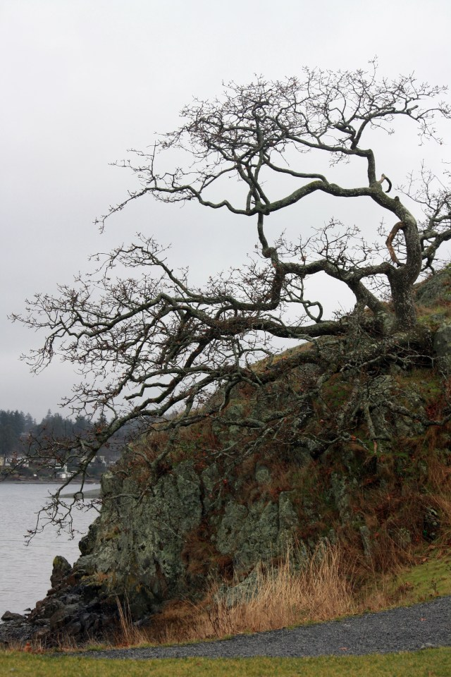 Gnarled Gary Oaks, outlined agained the grey sky.