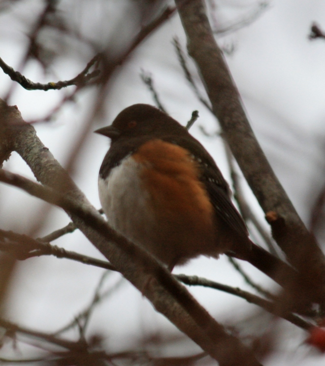 Spotted Towhee - first one I have ever seen
