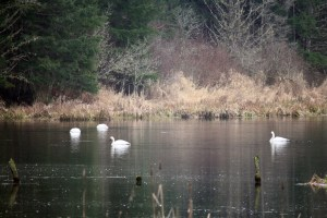 Swans on Hemer Marsh