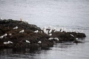 Flocks of Gulls were everywerhe, cormorants and ducks as well.