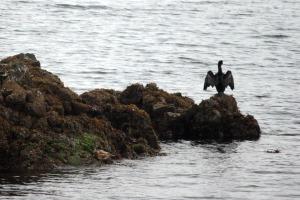 Posturing Cormorant.