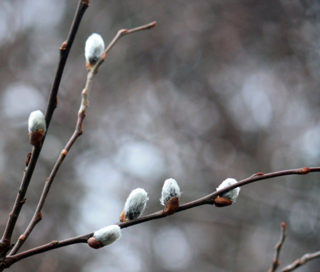 Pussy Willow Buds are emerging from Winter hiding.