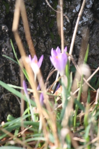 Crocus's in the long grass at Pipers.
