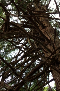 Tangle of Douglas Fir Branches overhead!