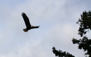 An Eagle coasting overhead at Jack Point