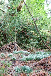 Patches of white snowdrops spread out underneath the trees.