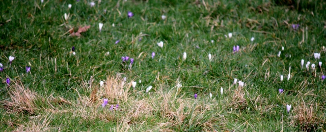 A naturalized field of crocuses