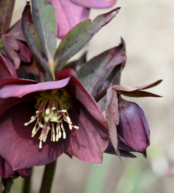 Hellebores are blooming.