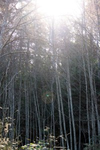 Sun shing down through the aspen trunks.  Soon the sun will only be dappled through the leaves budding on the branches.