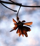 Maple seeds defying gravity and clinging stubbornly to the tree.
