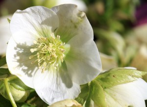 Beuatiful white hellebore raising its face to the morning sun.