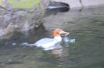Female Common Merganser diving and playing in the river.