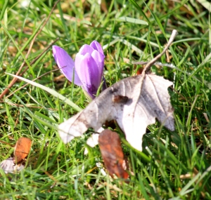 Crocus pushing up bravely through the grass and leaves!