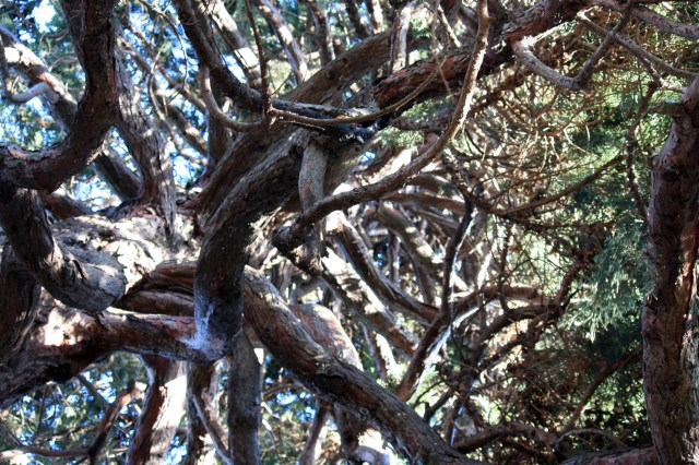 Looking up through the branches of the ancient Cedar on the edge of the front lawn of the Parliament Building.