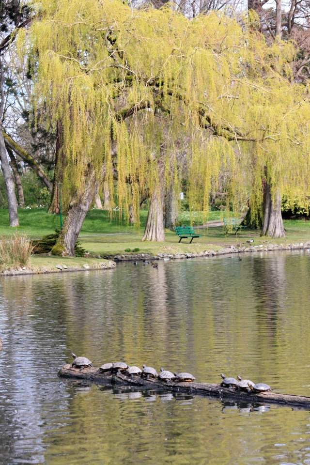 Turtles Basking in the Sun.  Willows starting to leaf.  Just Gorgeous!
