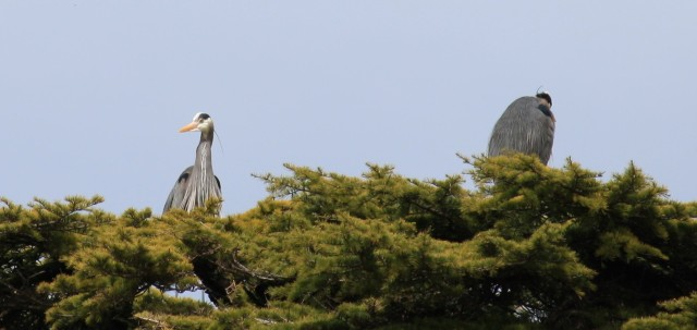 These two Heron's share the same treetop.