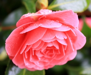 Camellia's after the Rain.  The tree in the front yard is covered in blooms, but the rain is causing them to turn brown so fast!