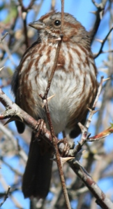 A Song Sparrow posing for the camera.