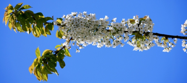 Blue sky and flowering trees!  What could be more beautiful?