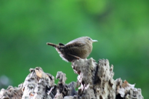 Small Brown Wren, above my head on an old stump!