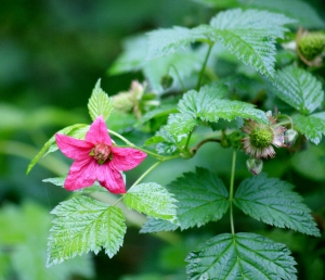 Salmon berries - first berries to ripen - blooming and fruits forming at the same time.