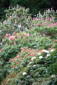 Layers of Rhododendrons along the drive