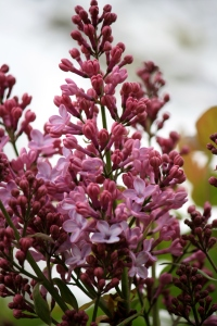 The Lilacs are just starting.