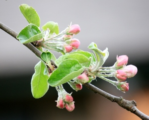 The neighbours tranparent apple tree is just starting to bloom.