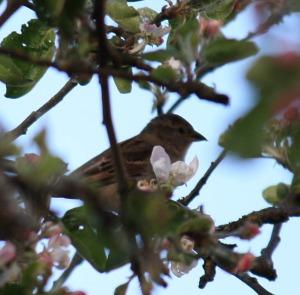 A tiny bird amongst the Apple Blossoms next door.