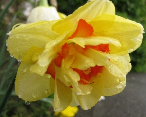 Raindrops and Daffodils