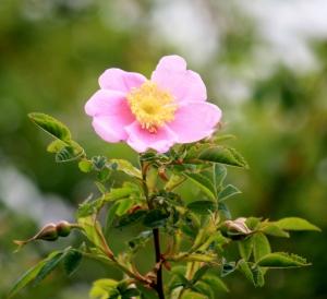 Perfect Wild Rose