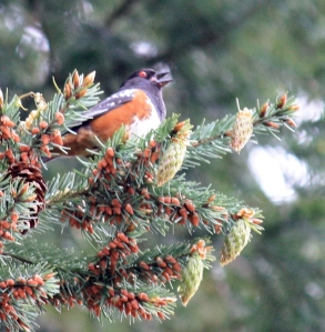 Spotted Towhee serenades as we walk by.