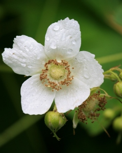 Rain spotted Thimble berry bloom.