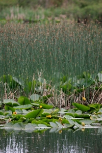 Reeds and Lily pads a Divers Lake