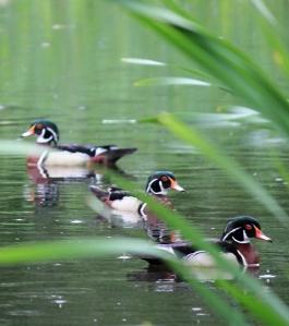 Wood Ducks amongst the reeds.