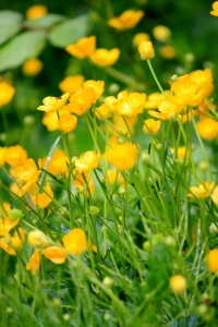 Buttercups carpeting the borders of many of the paths around the parl