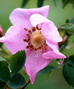 Wild Rose dripping with water.