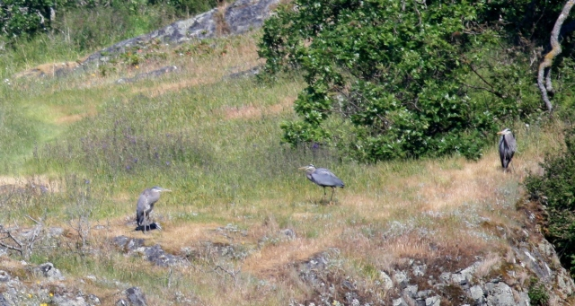 Three Heron's at a conference on the bluffs above Shack Island!