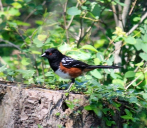 The Spotted Towhee