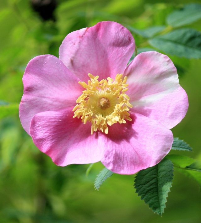 An Almost Perfect Wild Rose - the imperfections make it more beautiful!