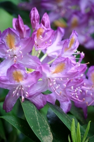 Gorgeous Rhododendron blossoms!