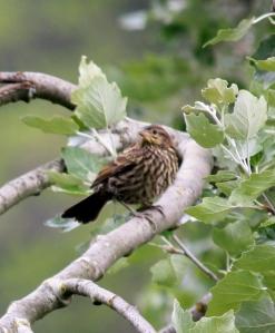 Marsh Sparrow