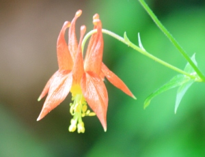 Brilliant orange Columbine.
