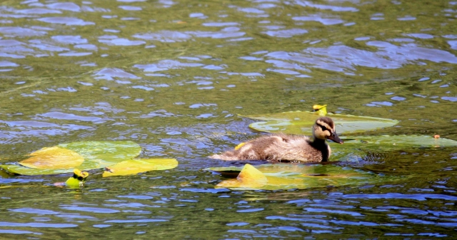 Duckling playing in the LIly pads.